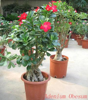 adenium bonsai obesum desert rose. Black Bedroom Furniture Sets. Home Design Ideas