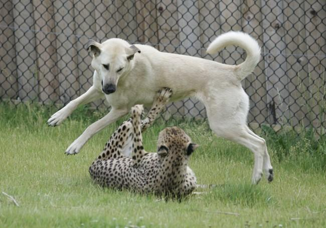 Anatolian Sheep Dog & Cheetah Conservation