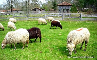 Sheep at Marquèze Ecomusée