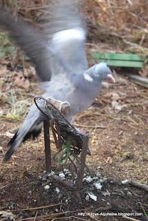 The bait bird imitates a settling bird