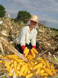 Small Farm Holder of GM Corn in the Philippine
