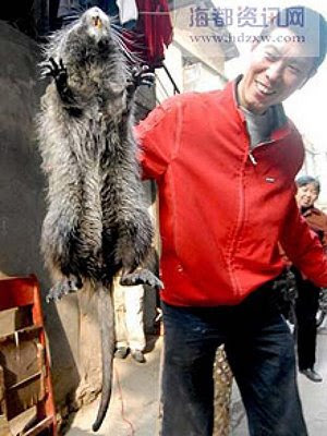 Tikus Raksasa di China