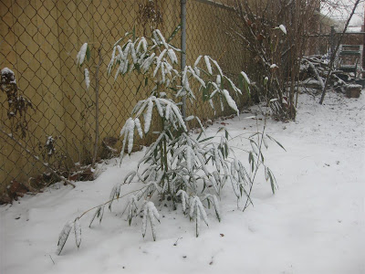 bamboo growing in snow, cold climate, hearty bamboo, winter