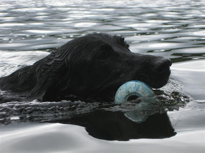 lab swimming with kong, toy, retreiving