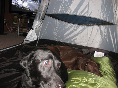 dogs sleeping in the tent, labs