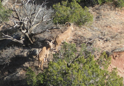 argali sheep, palo duro canyon, texas