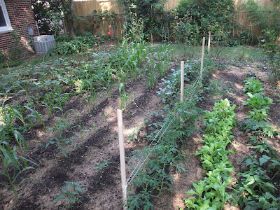 garden rows, wood stakes and string to support plants