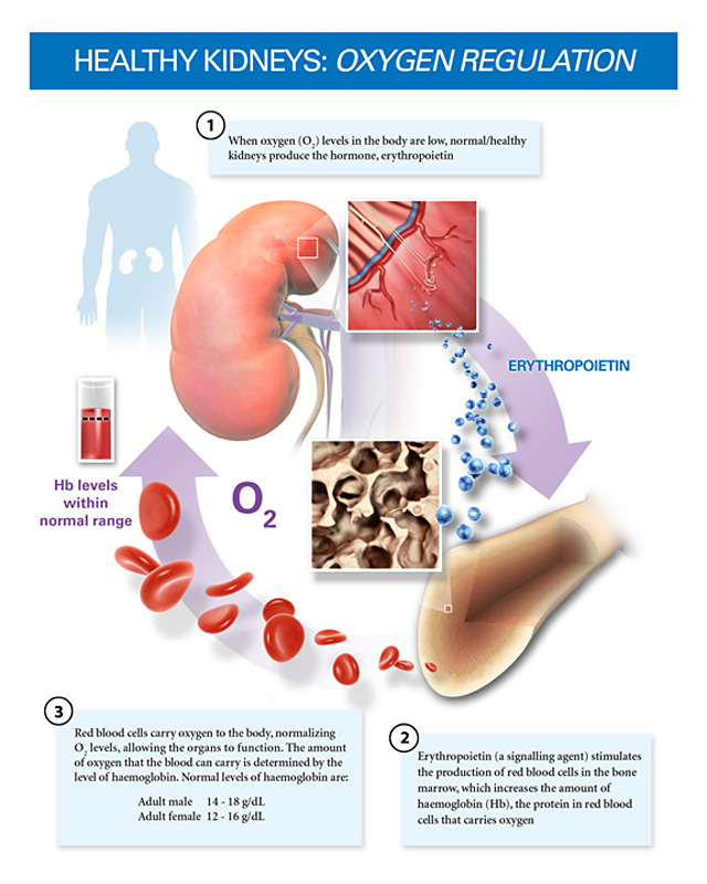 Anatomy and Physiology e-Portfolio: Erythropoietin and Red Blood ...