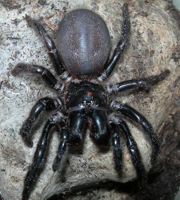Funnel Webspider adalah labah-labah yang sangat berbisa di Australia ...