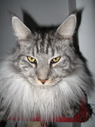 Maine Coon cats are known for their distinctive characteristics and size.
