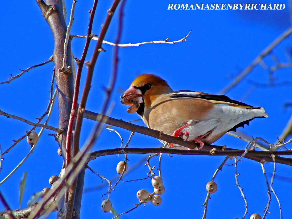 PHOTO ODYSSEY OF RICHARD: HAWFINCH BOTGROS GROS BEC MEGGYVAGO MADAR