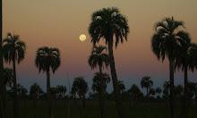 La luna sale en el palmar