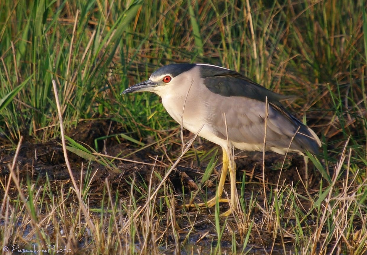 pescalune photo h ron bihoreau nycticorax nycticorax night heron nachtreiher. Black Bedroom Furniture Sets. Home Design Ideas