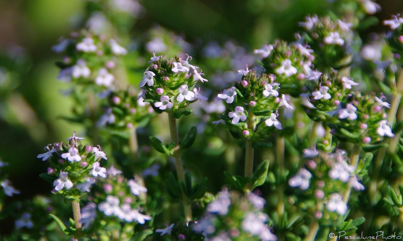 immortelle helichrysum italicum