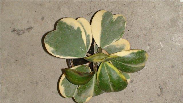 Хойя  цветущая лиана восковой плющ  Комнатные растения