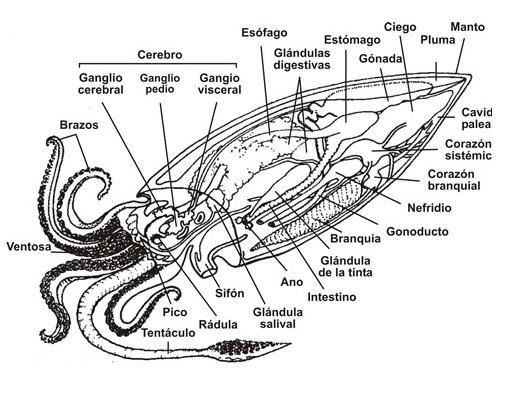 Los cefalópodos: Información general y anatomía de la sepia