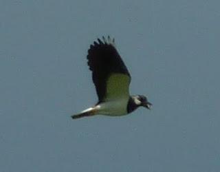 Lapwing aloft