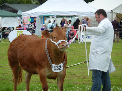 Bullock at the Goosnargh and Longridge Show