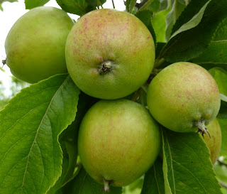 Apples in the walled orchard