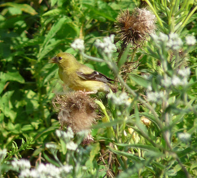 female goldfinch on thistle
