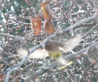 cedar waxwing in the pear