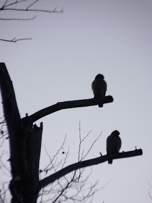 pair of red-shouldered hawks