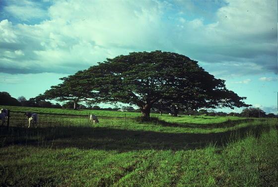 mi linda Costa Rica... Enterolobium_guanacaste_large