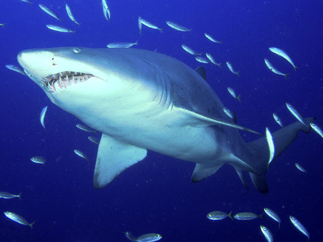 Predator Sand Tiger Shark pictures underwater photos