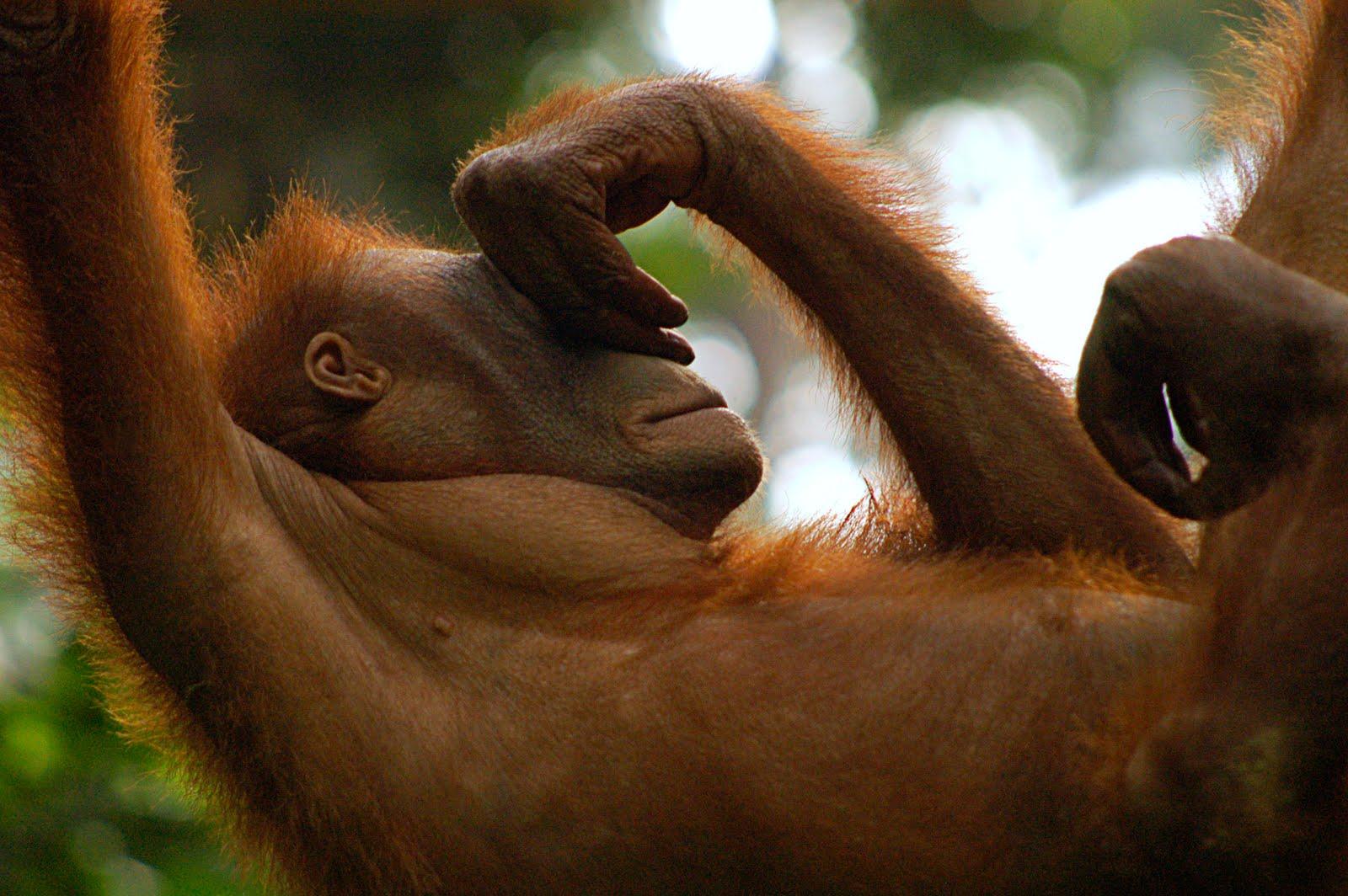 Рассказ секс с орангутангом 25 фотография