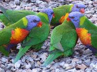Fugle vi så på rejsen til Australien