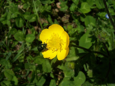 Insecte coléoptère chrysomèle sur fleur de renoncule bulbeuse.