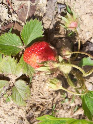 Fraise, fruit de mon jardin