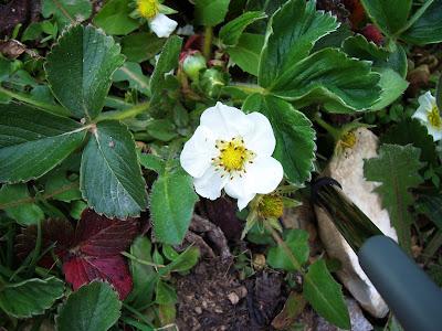 Fleur de fraisier de mon jardin