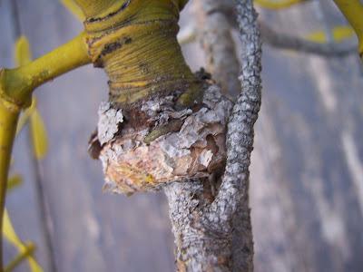 Fixation de gui parasite sur la plante hôte, ici un pin sylvestre
