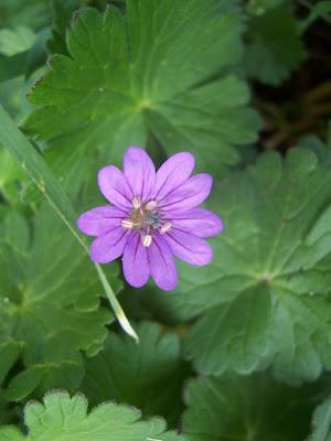 Fleur de géranium sauvage