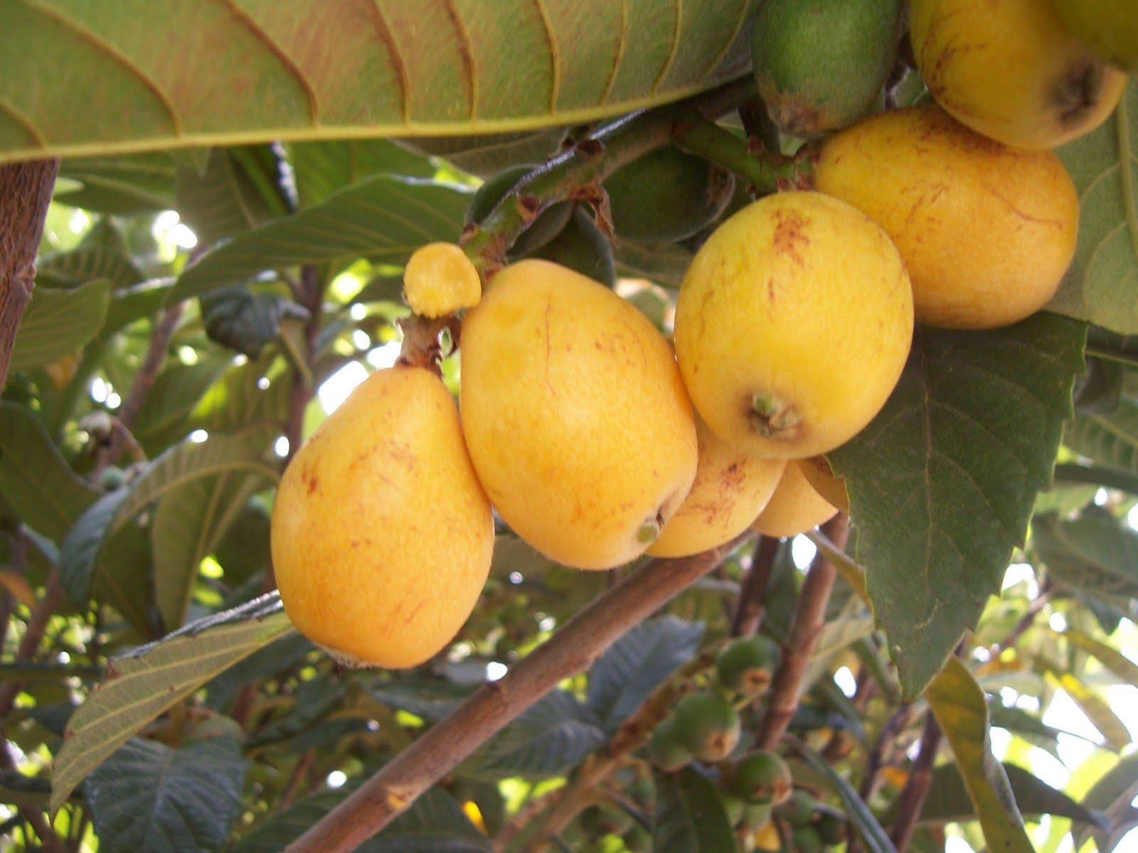 Images photos photo de n fles fruits du n flier - Confiture de nefles du japon ...