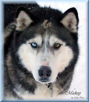 Heterochromia: Siberian Huskies 9-siberian-husky-eyes
