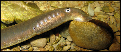 Flodnejonöga suger sig fast i botten på gotländsk å.
