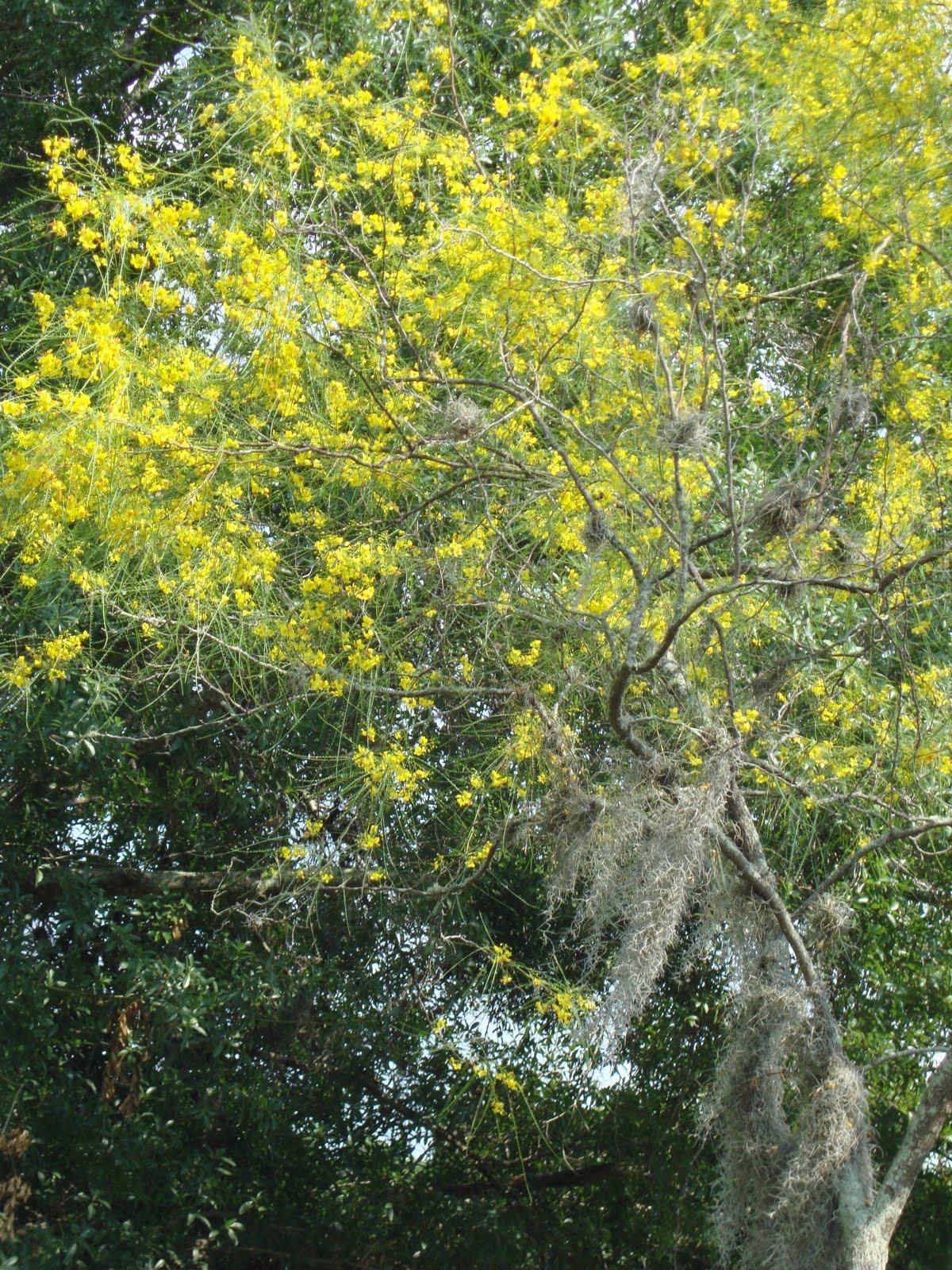 Around Grandma S Table Flowering Trees Of Ruskin Part 1