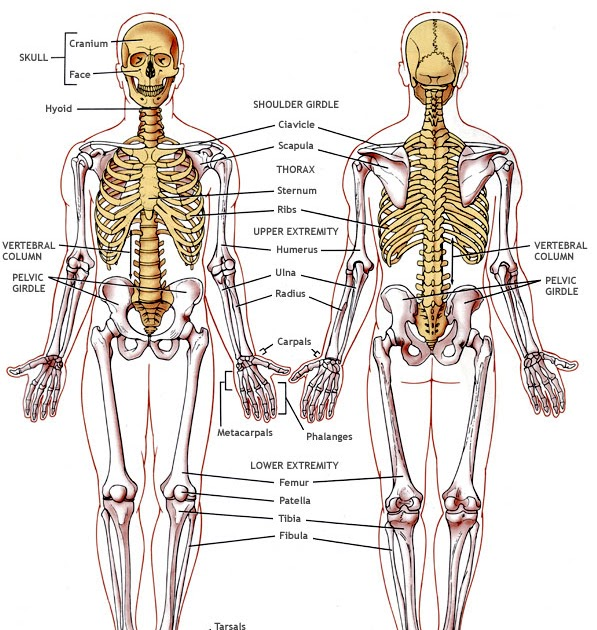 Ks3 Biology  Ks3 Biology Part 2  Skeletal System