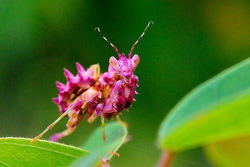 [Pink+praying+Mantis.jpg]