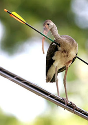 Ibis, um pássaro flexado