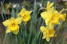 Yellow Daffs