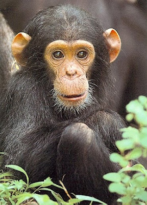 Chimpanzee - Endangered Animals - Extinct Animals