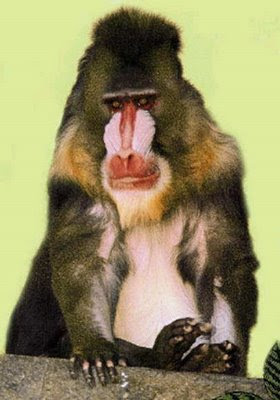Mona Guenon - Endangered Animals - Extinct Animals