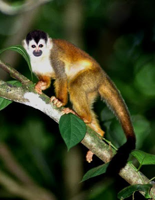 Squirrel Monkey - Endangered Animals - Extinct Animals