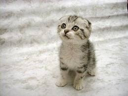 creative hana: kucing termahal didunia