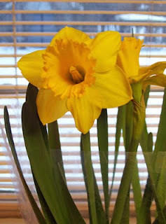 Daffodils from my husband to brighten up the dreary, cloudy, foggy days lately.