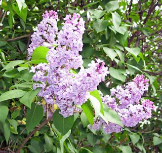 Lilac bush in back yard