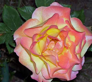 This coral color rose has big, beautiful blossoms.